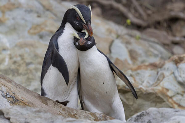 Fiordland Crested Penguin Encounter