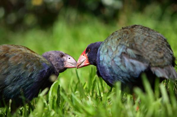 Two Pukeko Birds in Tiritiri Matangi Island